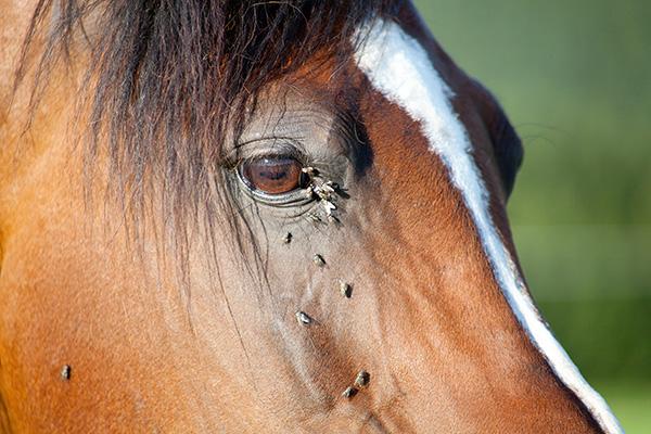 Muggenplaag onderweg! Wat doe je tegen jeuk bij paarden?
